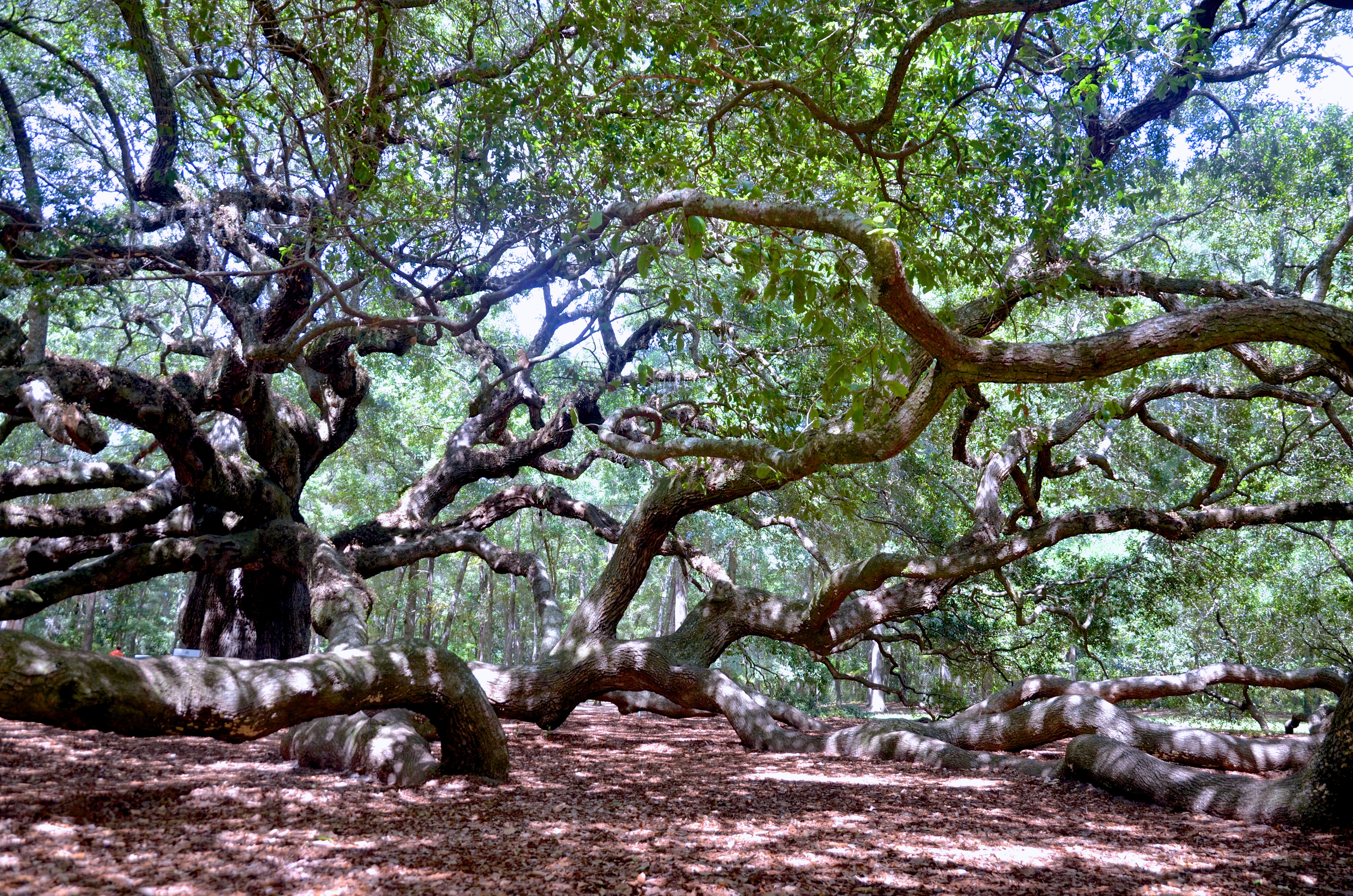 Angel Oak Tree; Johns Island, South Carolina