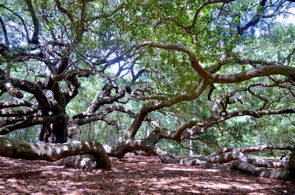 serenity-angel oak