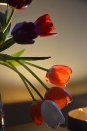 Shadowed tulips; Spotsylvania, Virginia