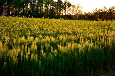 Fields of gold; Spotsylvania, Virginia